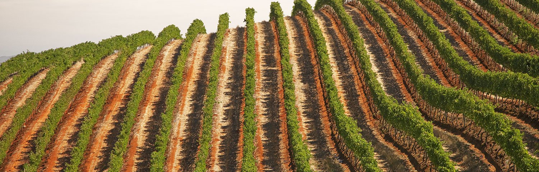 Weinland Südafrika Weinberg
