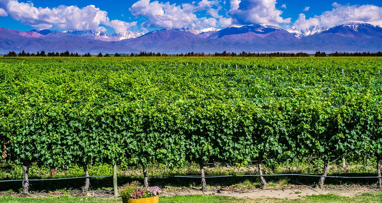 Weinlese Argentinien