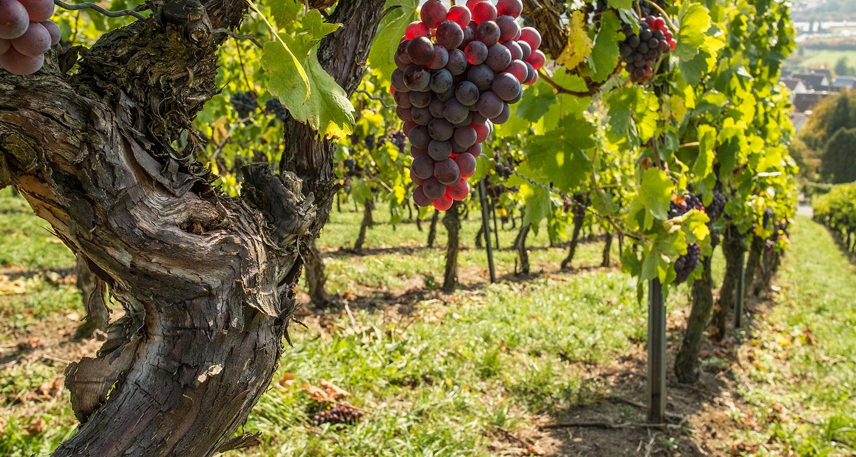 Weinstock mit alten Reben